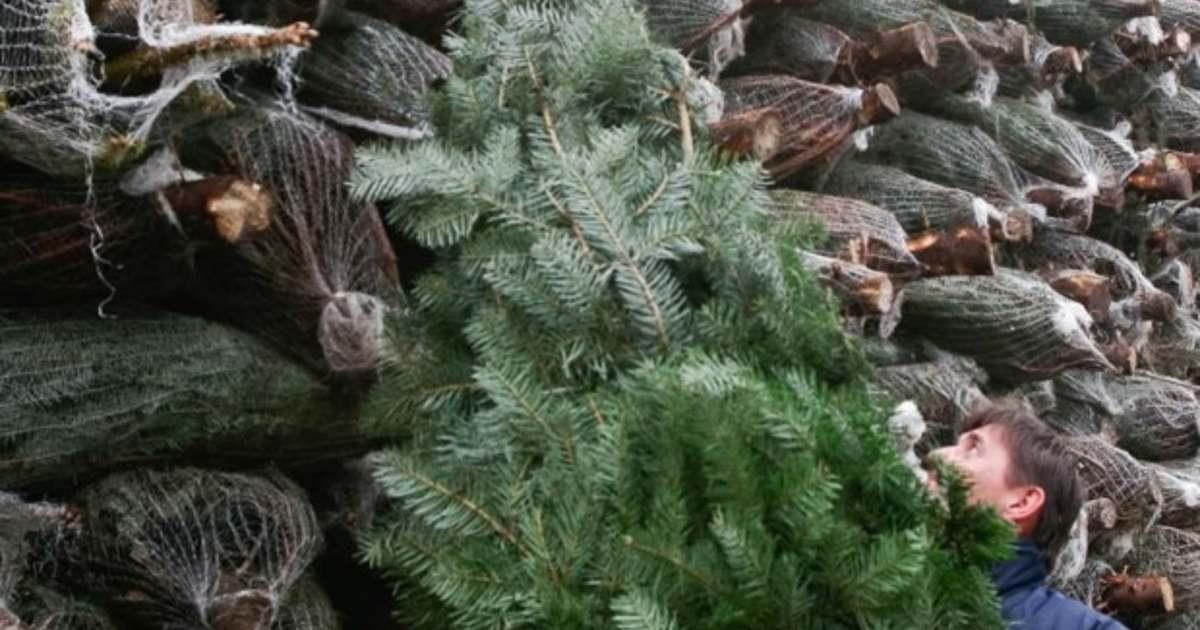 Idén nem halogathatjuk a karácsonyfa megvásárlását - Nagyon drága lesz és kevés